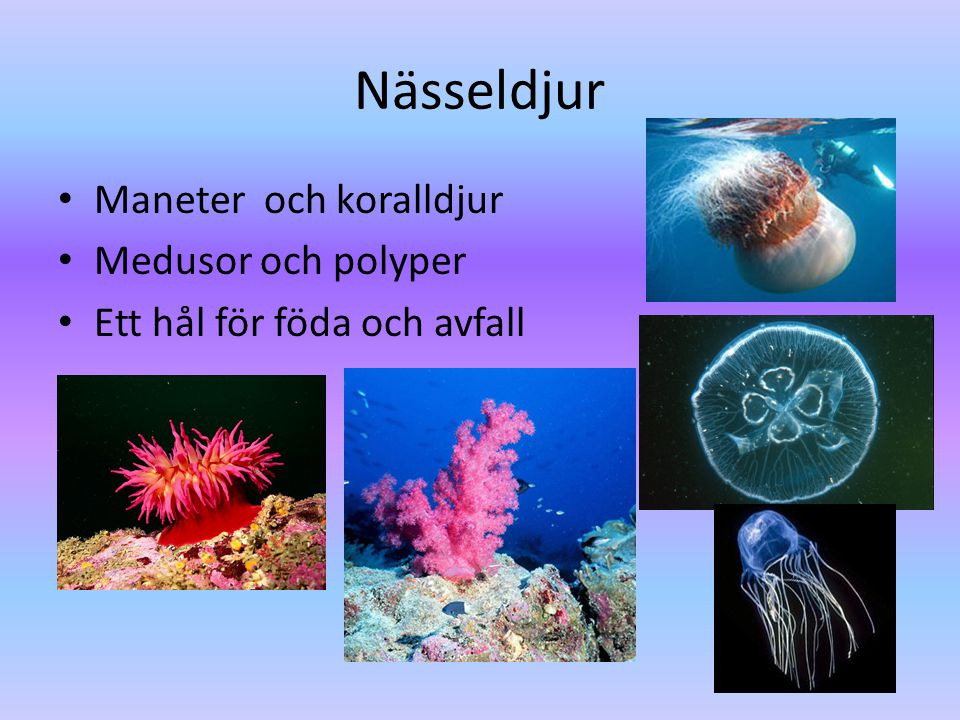 Nässeldjur Maneter och koralldjur Medusor och polyper