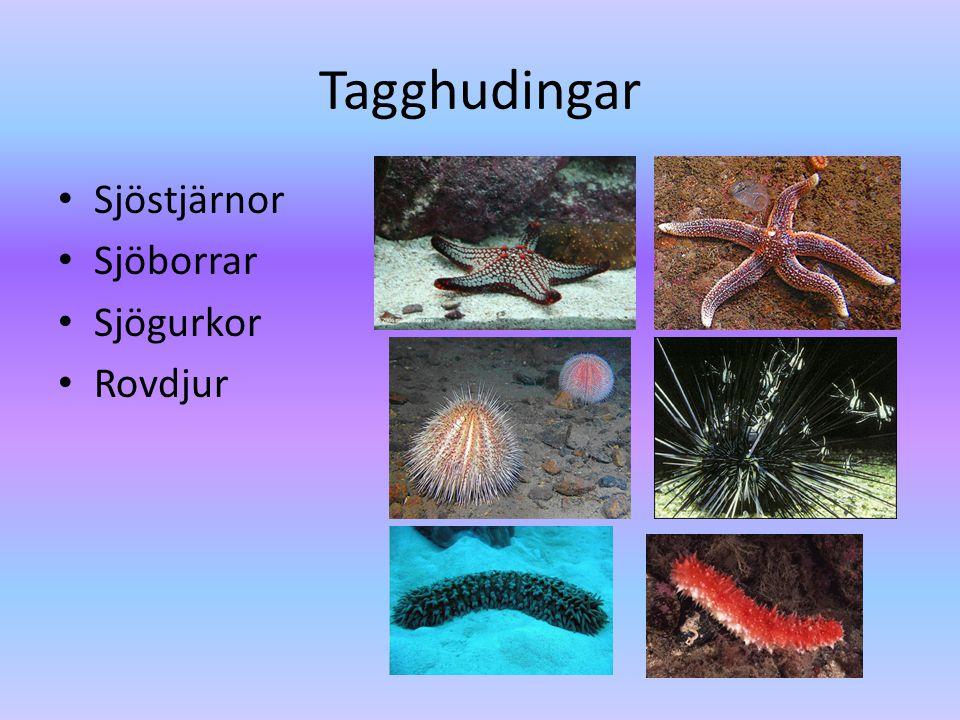 Tagghudingar Sjöstjärnor Sjöborrar Sjögurkor Rovdjur