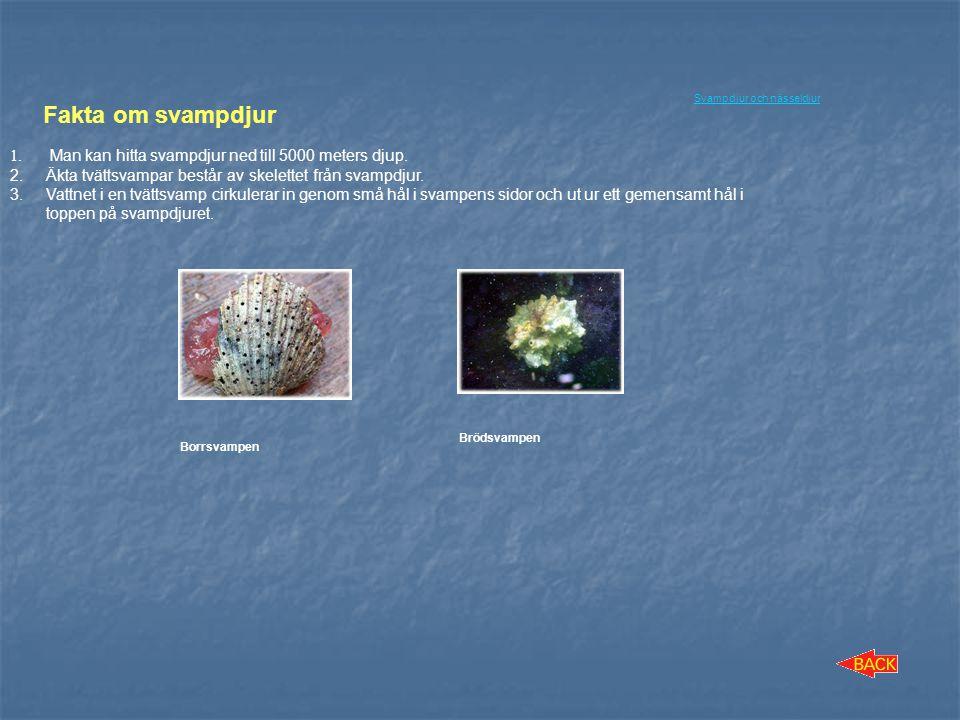 Fakta om svampdjur Man kan hitta svampdjur ned till 5000 meters djup.