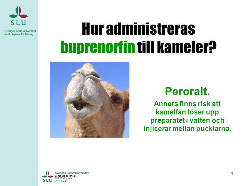 Hur administreras buprenorfin till kameler