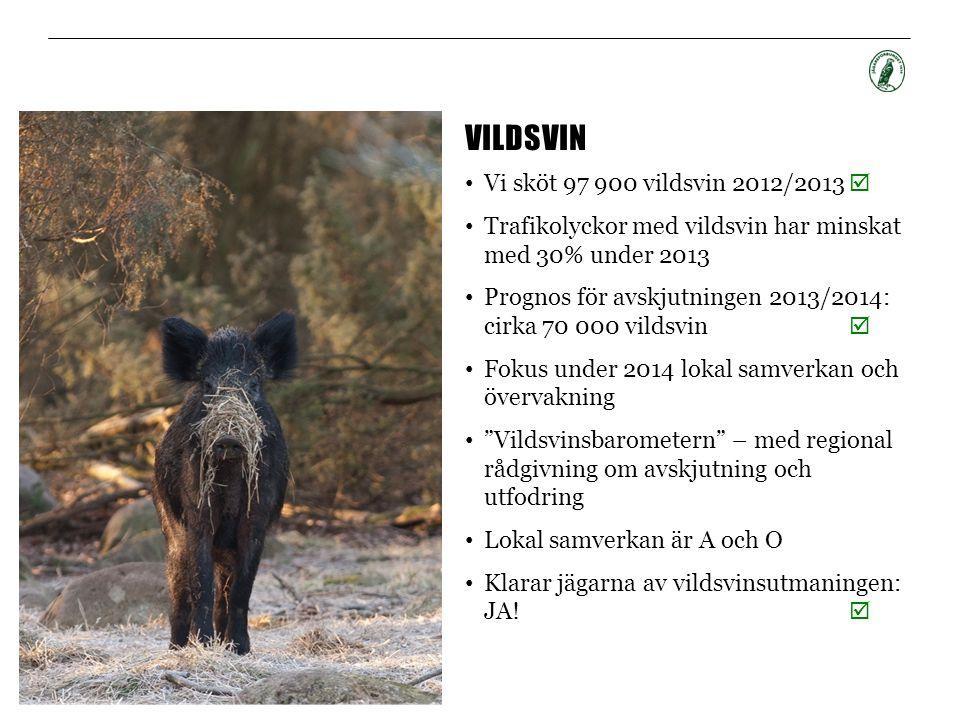 Vildsvin Vi sköt 97 900 vildsvin 2012/2013 