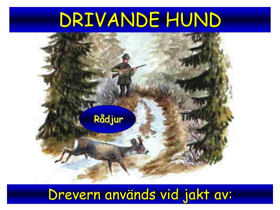 Drevern används vid jakt av: