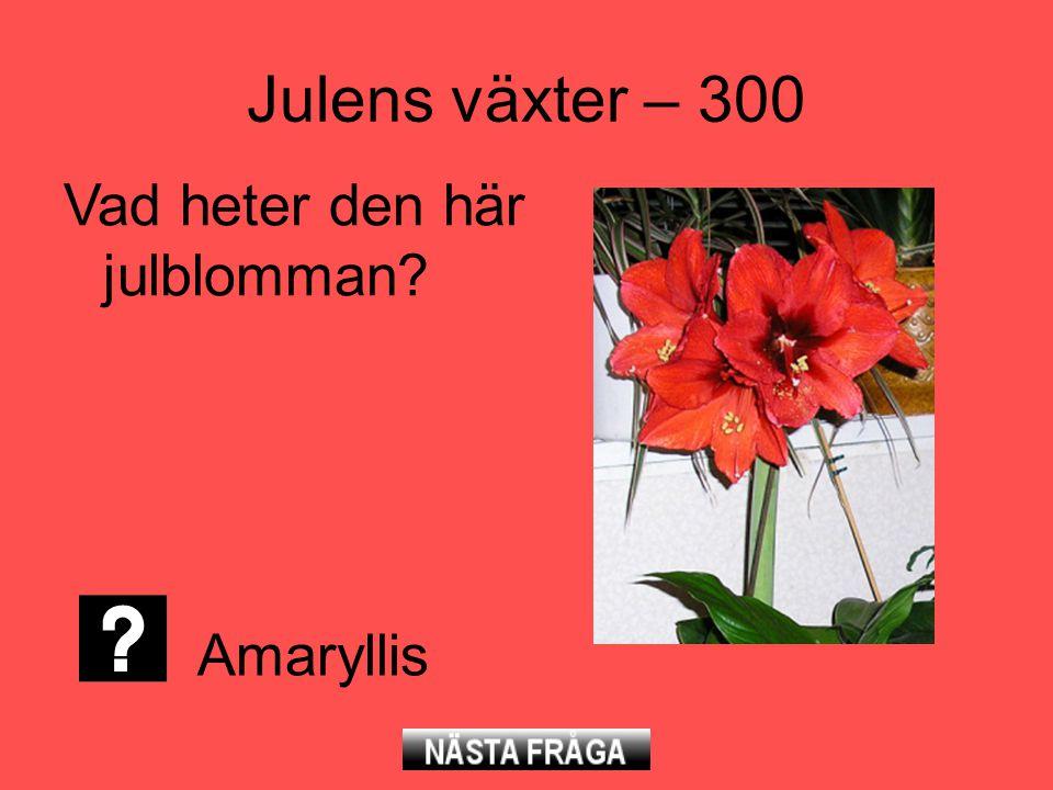 Julens växter – 300 Vad heter den här julblomman Amaryllis