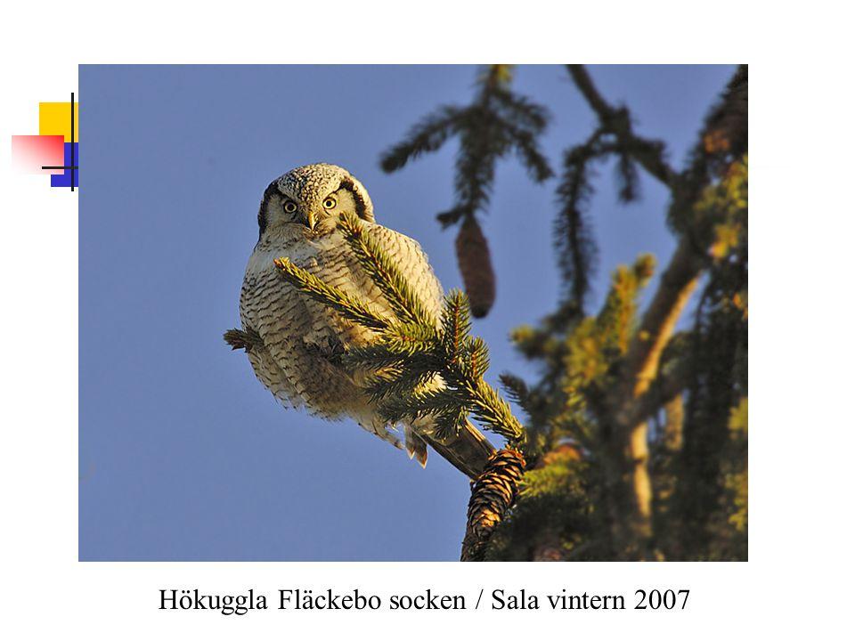 Hökuggla Fläckebo socken / Sala vintern 2007