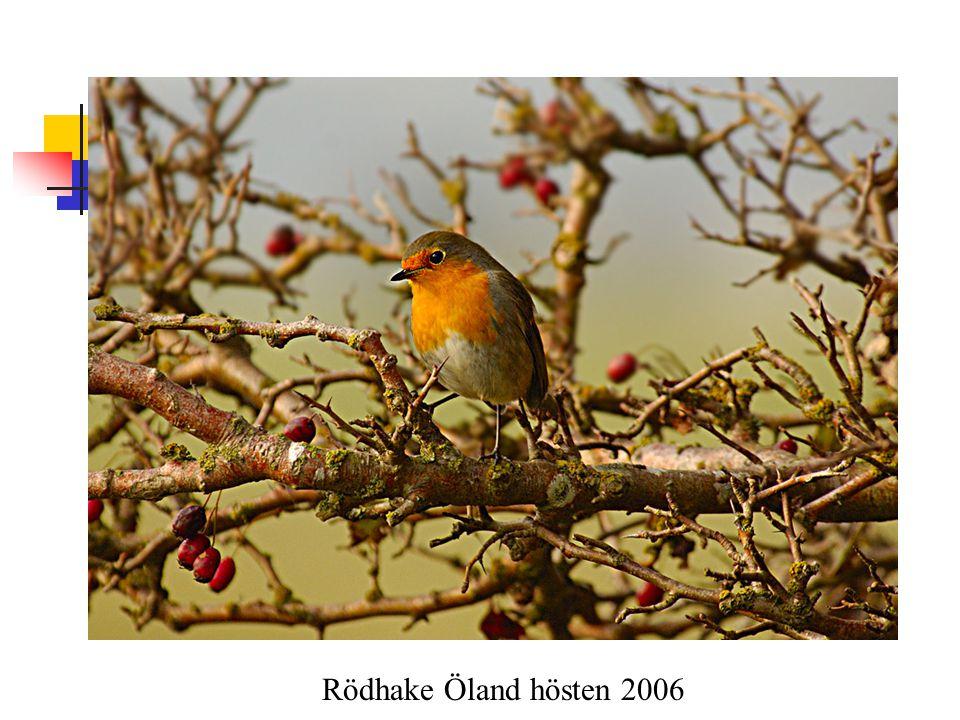 Rödhake Öland hösten 2006
