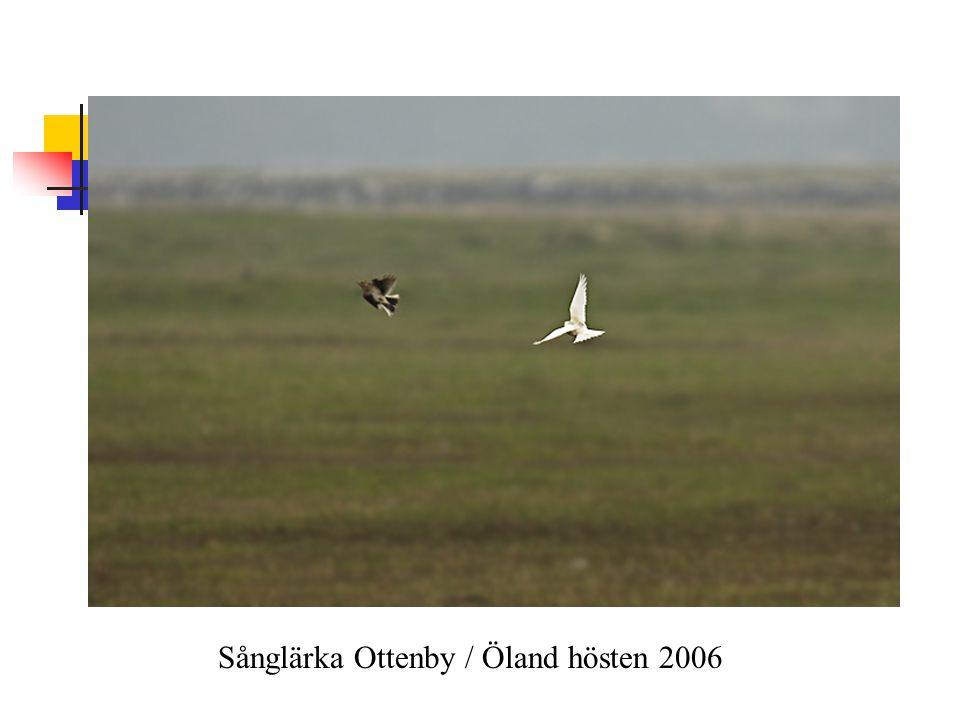 Sånglärka Ottenby / Öland hösten 2006