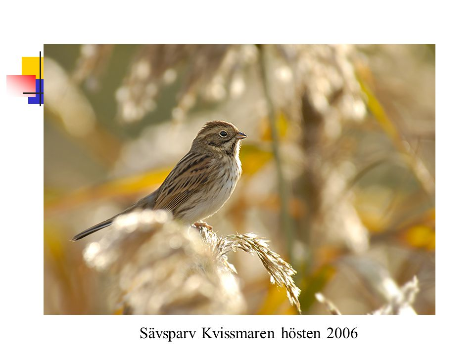 Sävsparv Kvissmaren hösten 2006