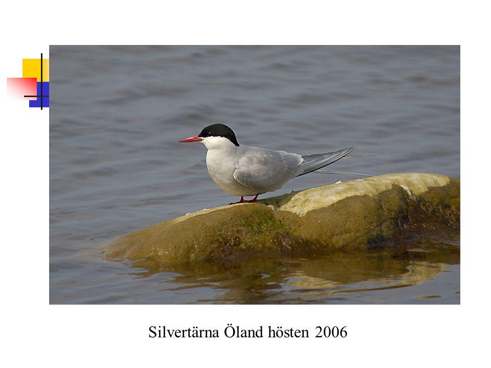 Silvertärna Öland hösten 2006