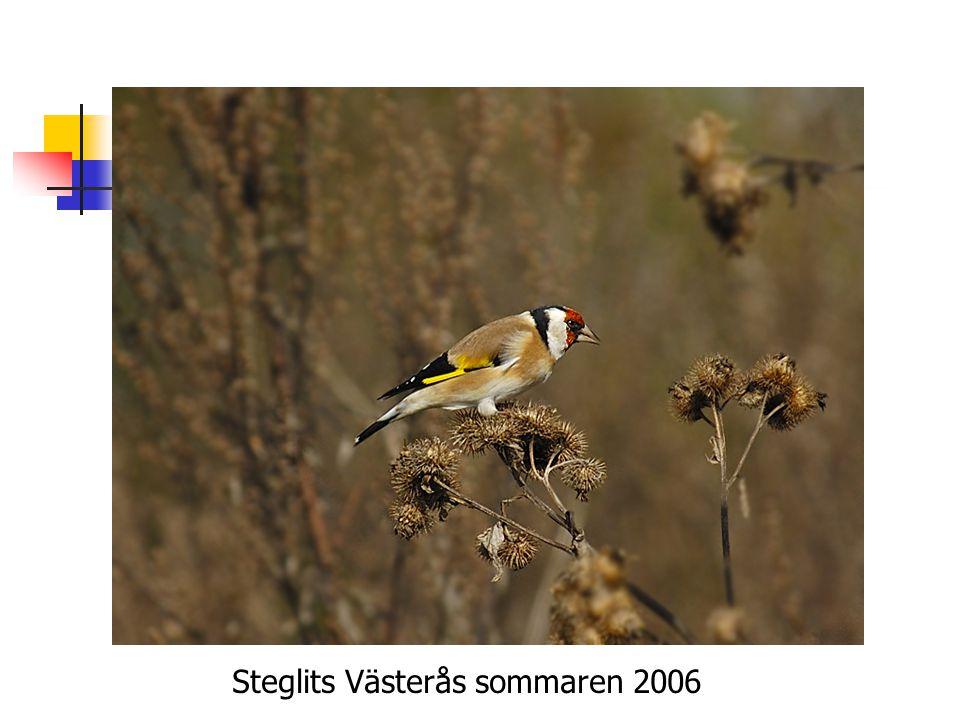Steglits Västerås sommaren 2006