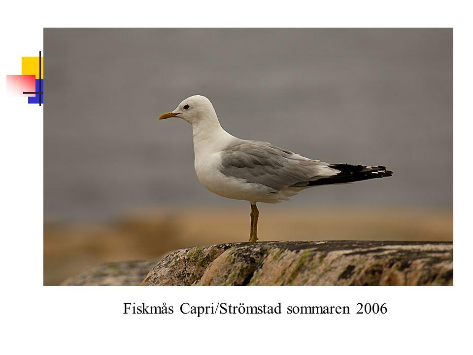 Fiskmås Capri/Strömstad sommaren 2006