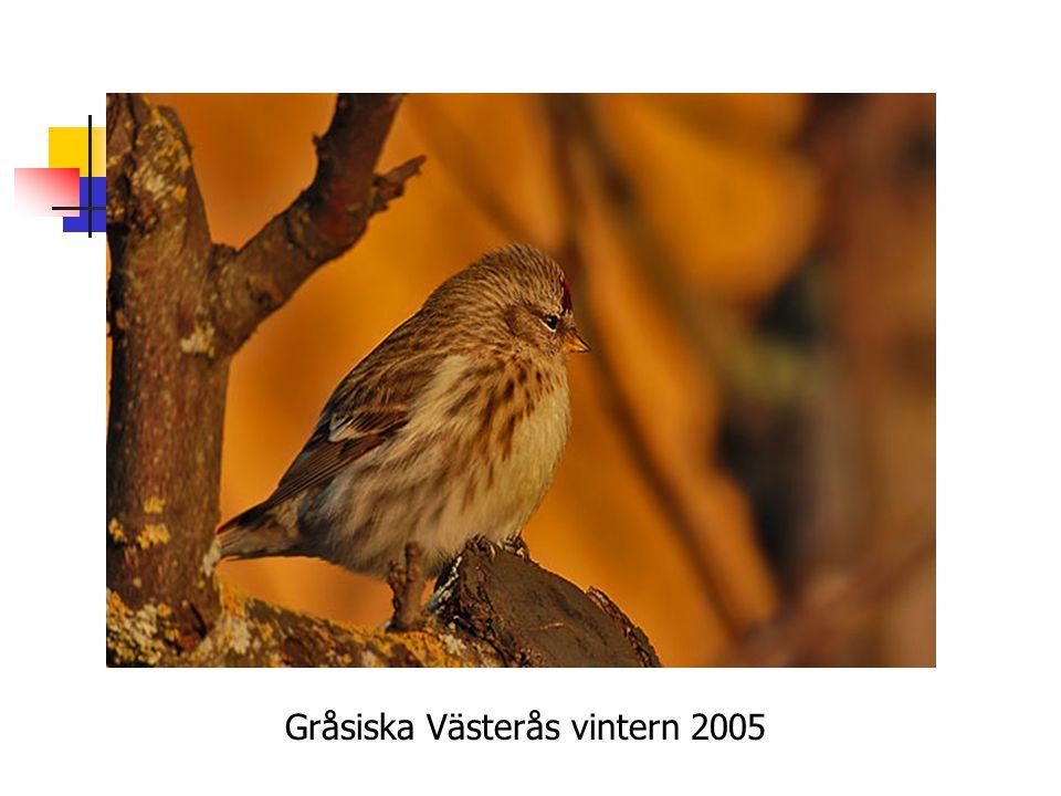 Gråsiska Västerås vintern 2005
