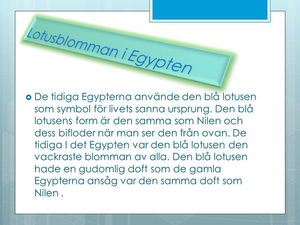 Lotusblomman i Egypten