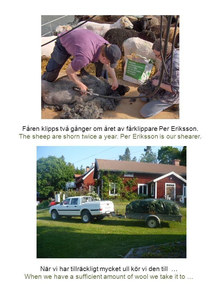Fåren klipps två gånger om året av fårklippare Per Eriksson