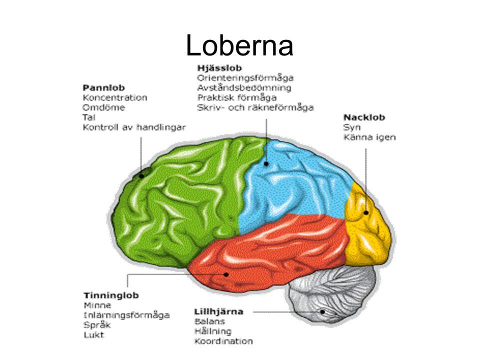 Loberna
