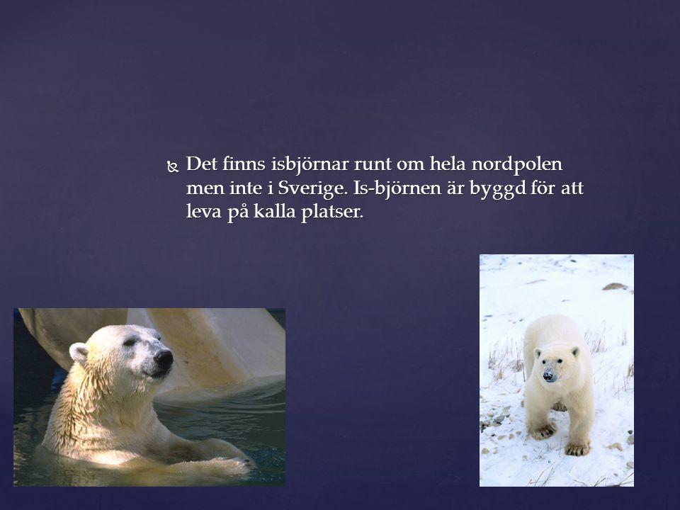 Det finns isbjörnar runt om hela nordpolen men inte i Sverige
