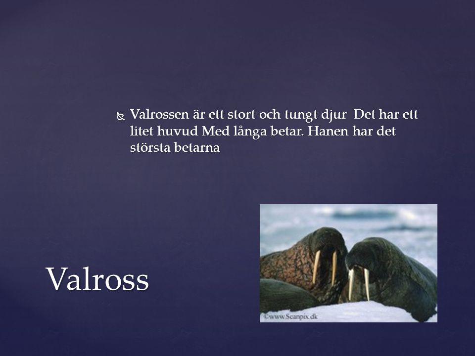 Valrossen är ett stort och tungt djur Det har ett litet huvud Med långa betar. Hanen har det största betarna