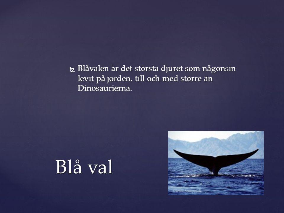 Blåvalen är det största djuret som någonsin levit på jorden