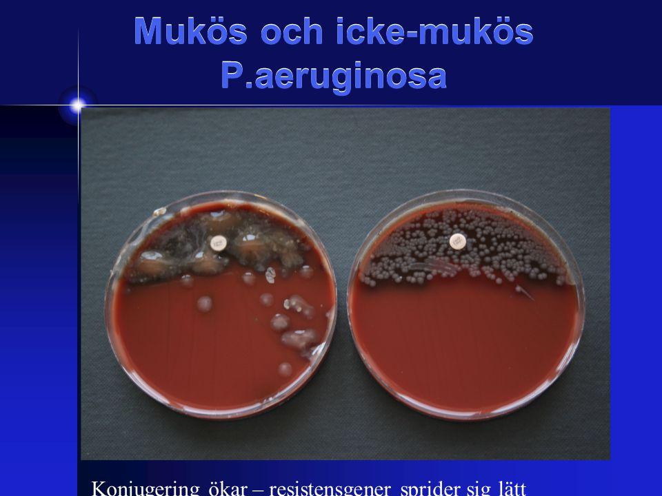 Mukös och icke-mukös P.aeruginosa