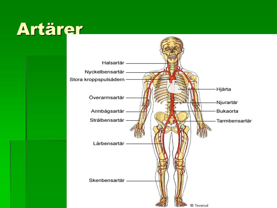 Artärer