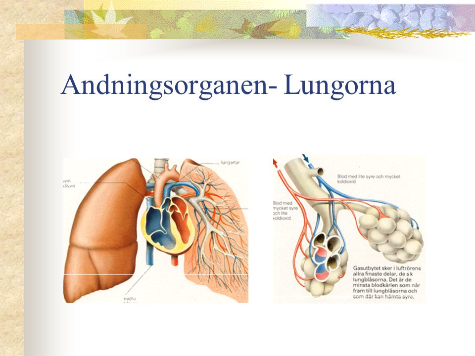 Andningsorganen- Lungorna