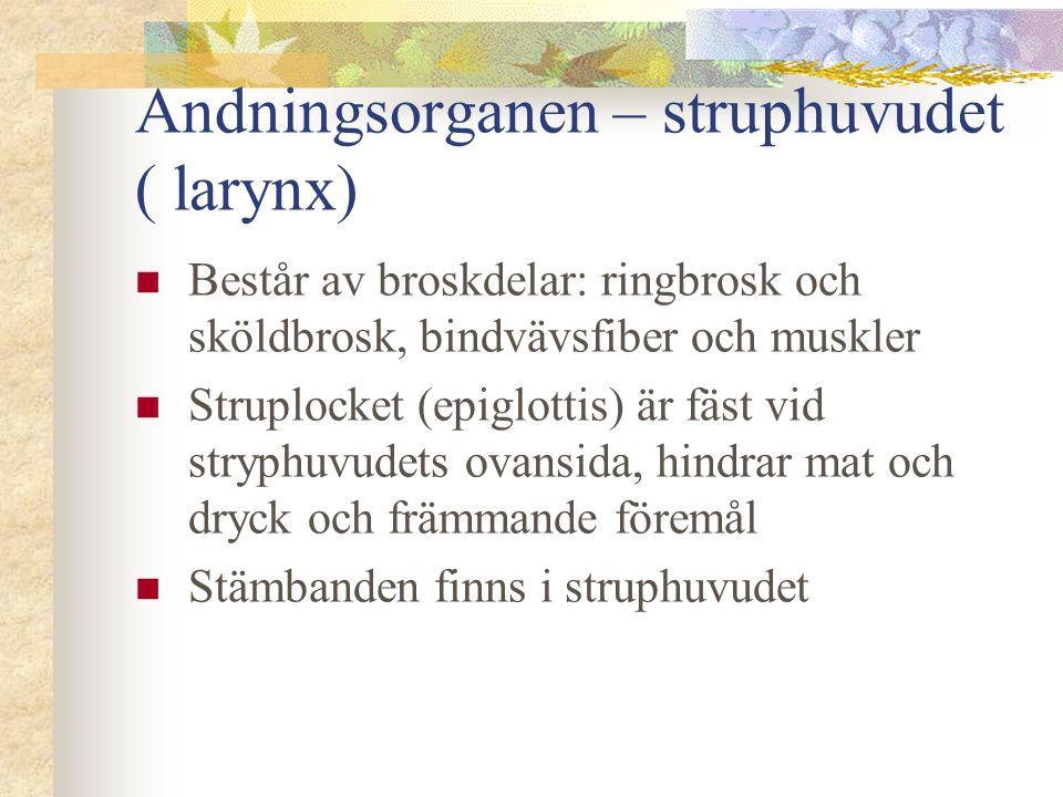 Andningsorganen – struphuvudet ( larynx)