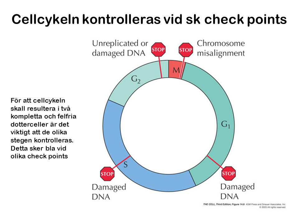 Cellcykeln kontrolleras vid sk check points
