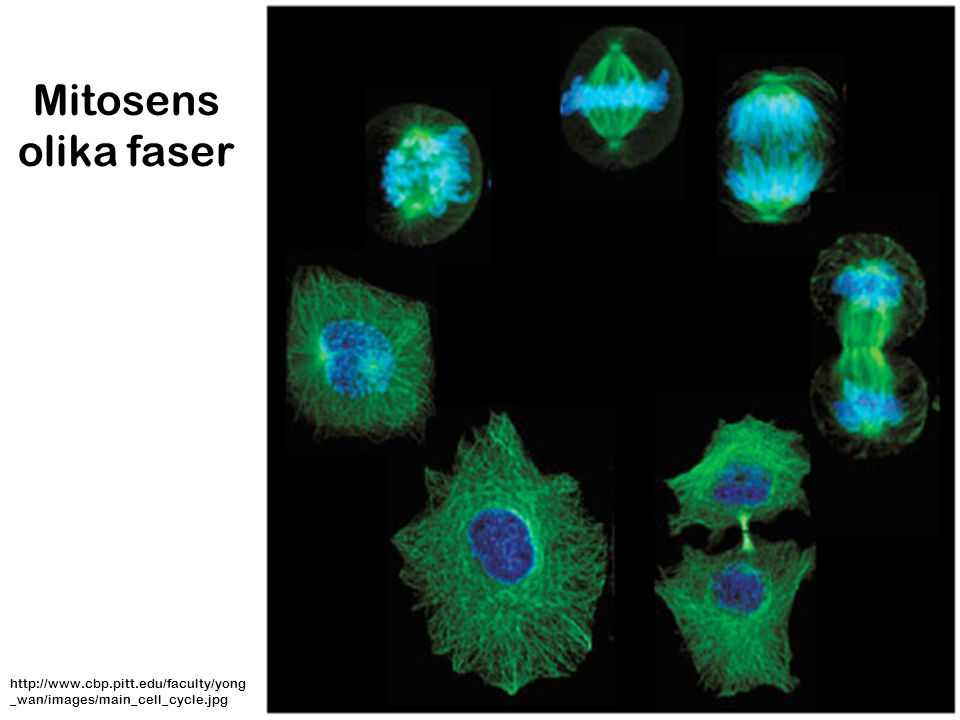 Mitosens olika faser http://www.cbp.pitt.edu/faculty/yong_wan/images/main_cell_cycle.jpg