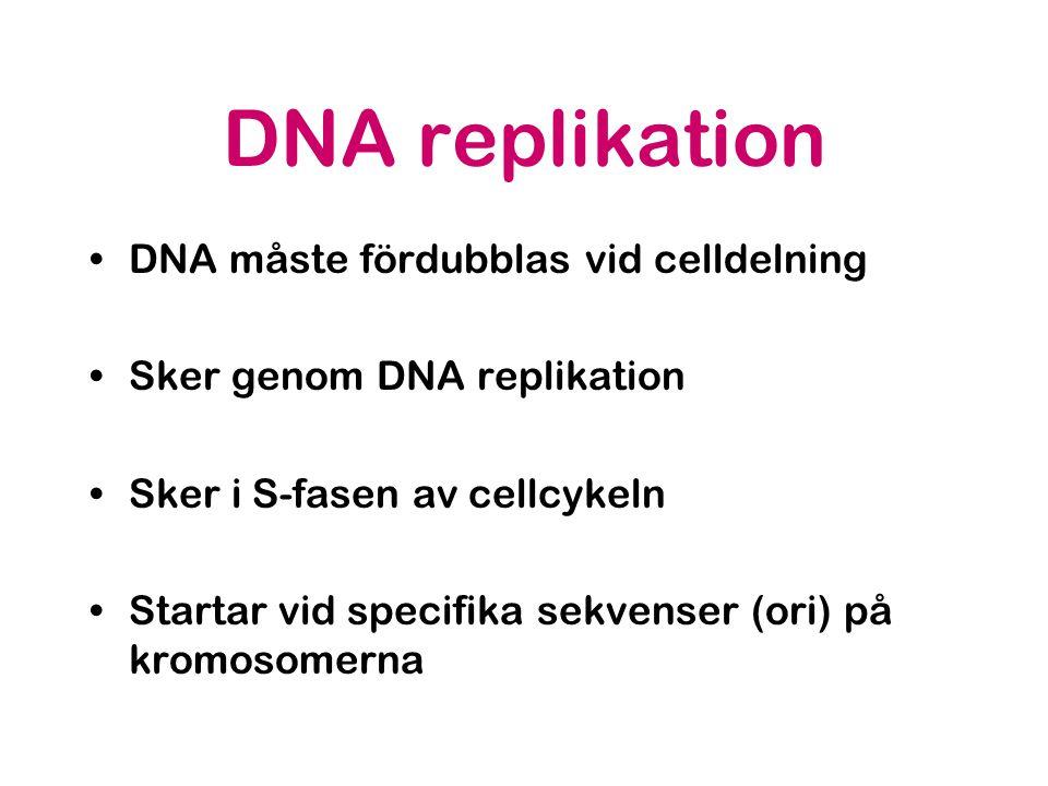 DNA replikation DNA måste fördubblas vid celldelning