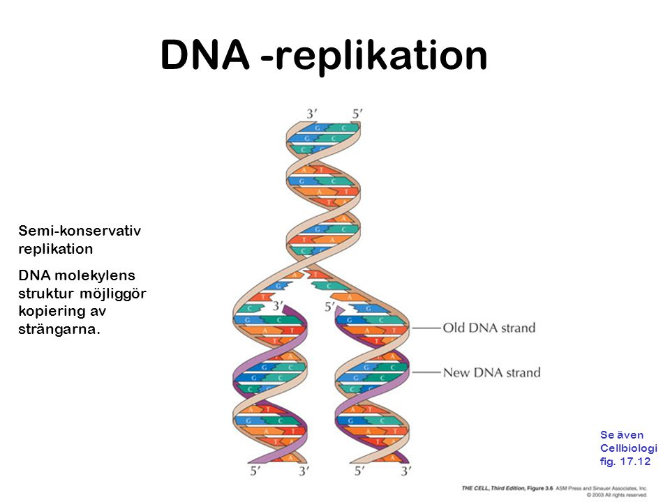 DNA -replikation Semi-konservativ replikation