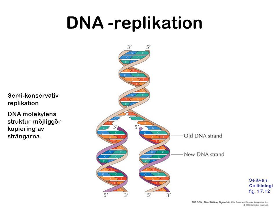 DNA -replikation Semi-konservativ replikation