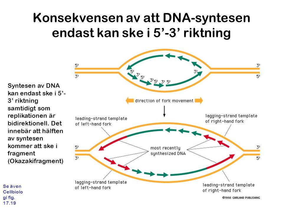 Konsekvensen av att DNA-syntesen endast kan ske i 5'-3' riktning