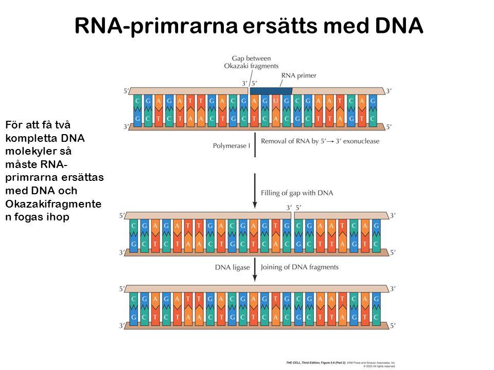 RNA-primrarna ersätts med DNA