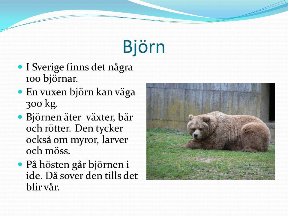 Björn I Sverige finns det några 100 björnar.