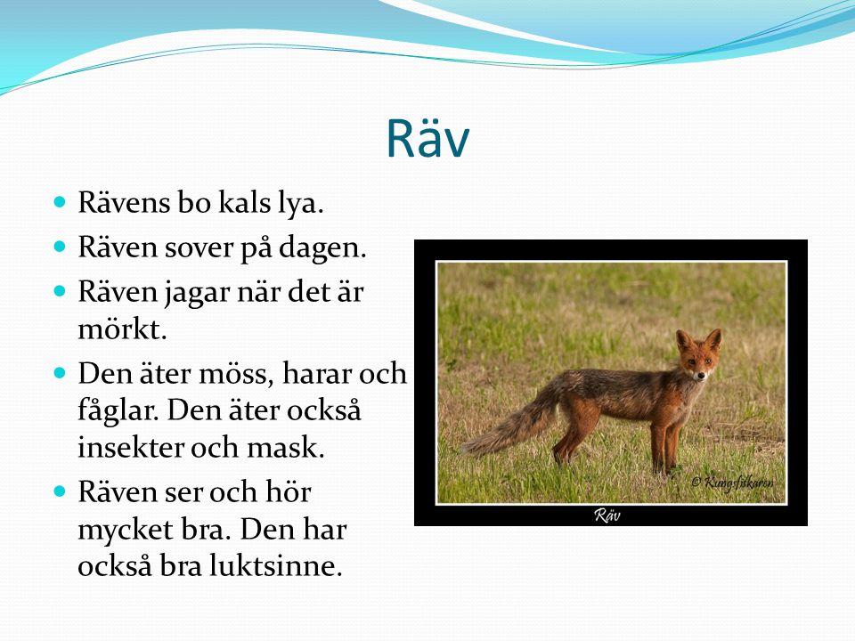 Räv Rävens bo kals lya. Räven sover på dagen.