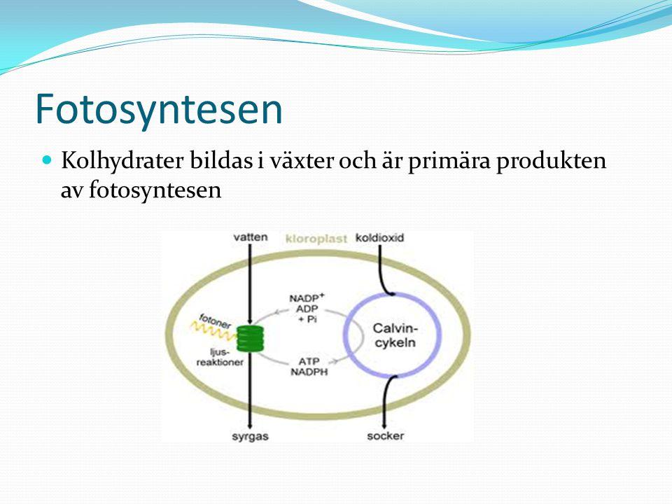 Fotosyntesen Kolhydrater bildas i växter och är primära produkten av fotosyntesen