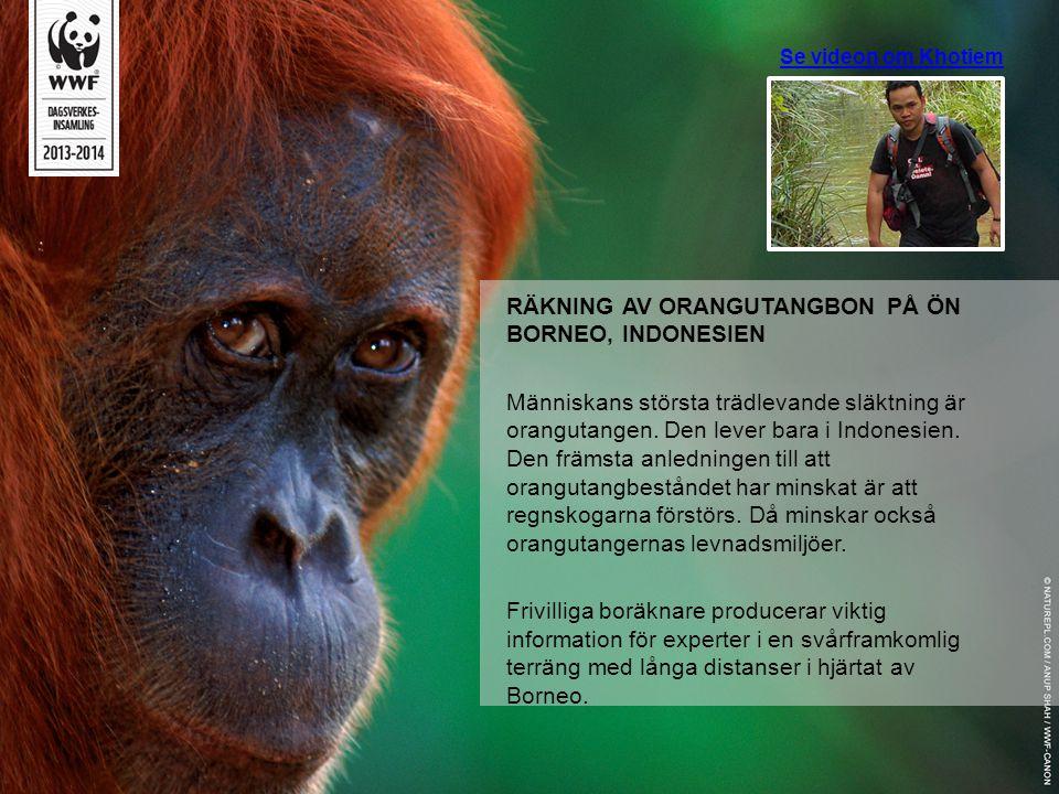 RÄKNING AV ORANGUTANGBON PÅ ÖN BORNEO, INDONESIEN
