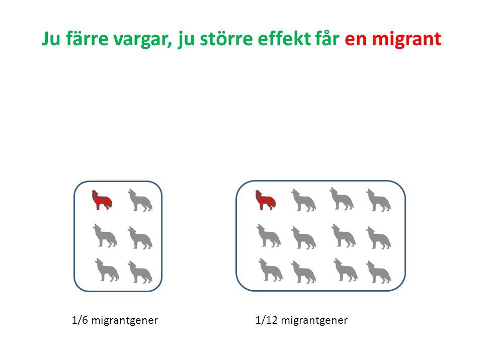 Ju färre vargar, ju större effekt får en migrant