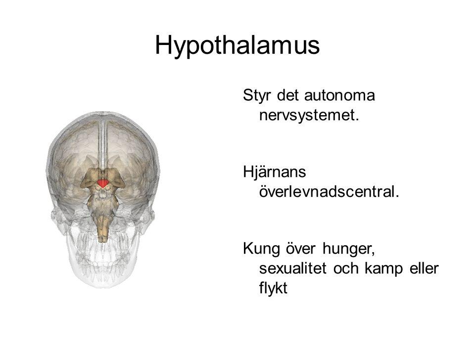 Hypothalamus Styr det autonoma nervsystemet.