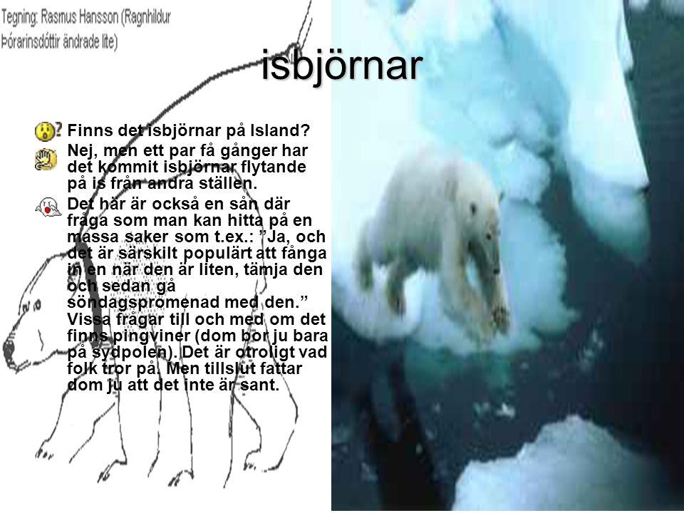 isbjörnar Finns det isbjörnar på Island