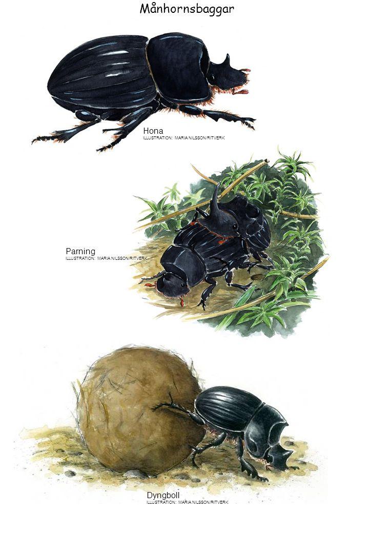 Månhornsbaggar Hona Parning Dyngboll