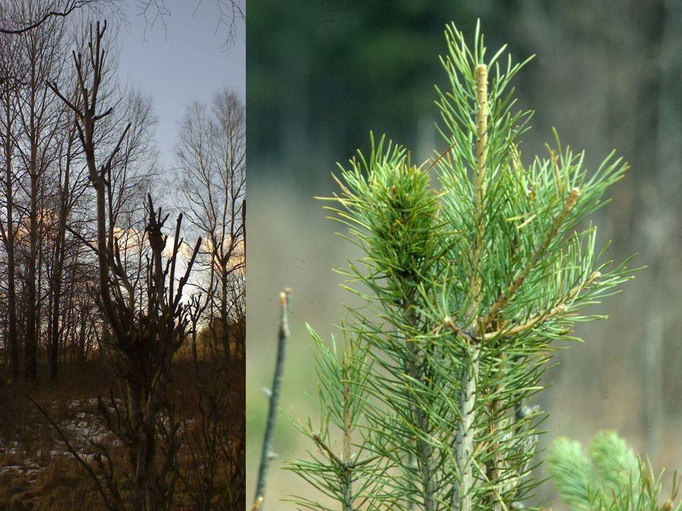 Skador på träd Bete på skott / blad, barkgnag, stambrott, tramp och fejningsskador.