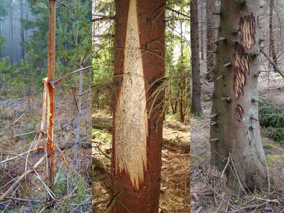 Skador på träd Bete på skott / blad, barkgnag, stambrott, tramp och fejningsskador