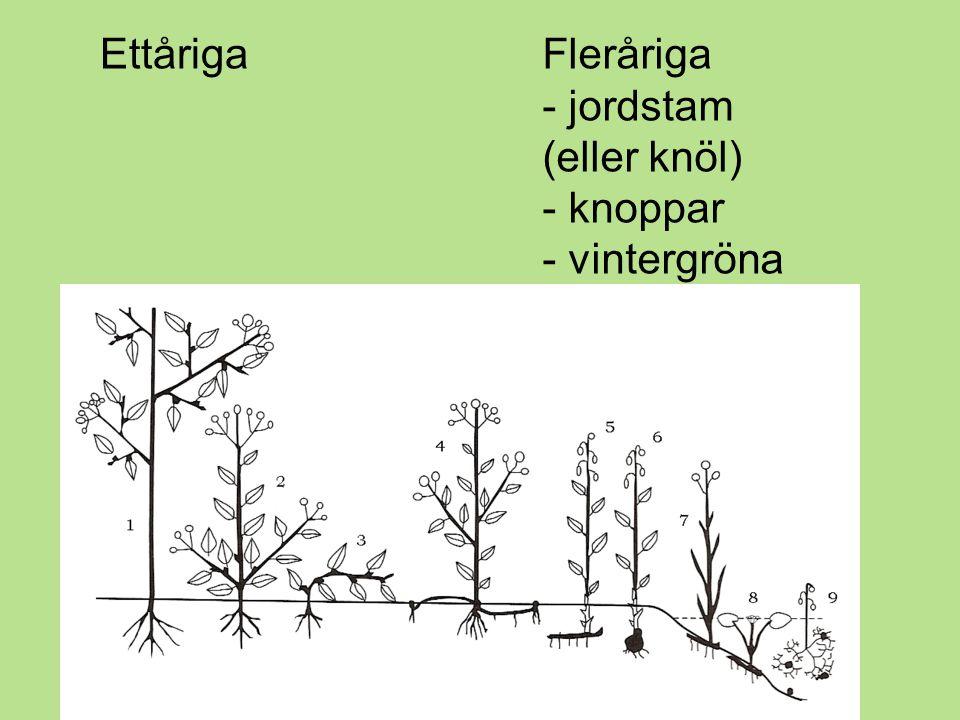 - jordstam (eller knöl) - knoppar - vintergröna