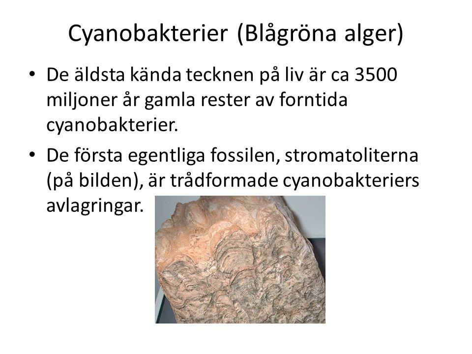 Cyanobakterier (Blågröna alger)