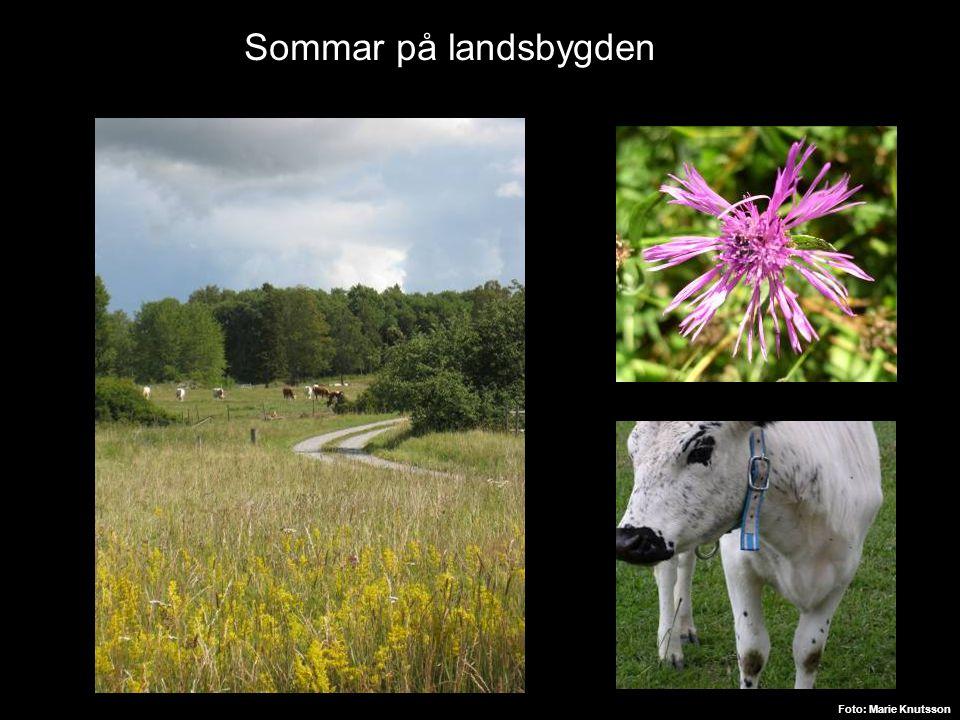 Sommar på landsbygden Foto: Marie Knutsson