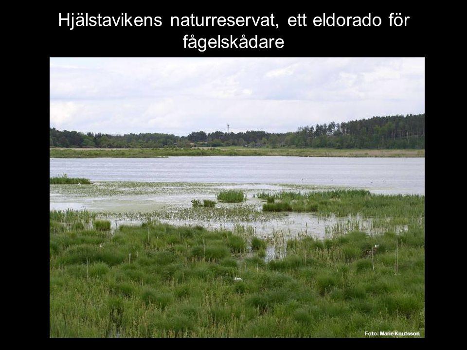 Hjälstavikens naturreservat, ett eldorado för fågelskådare