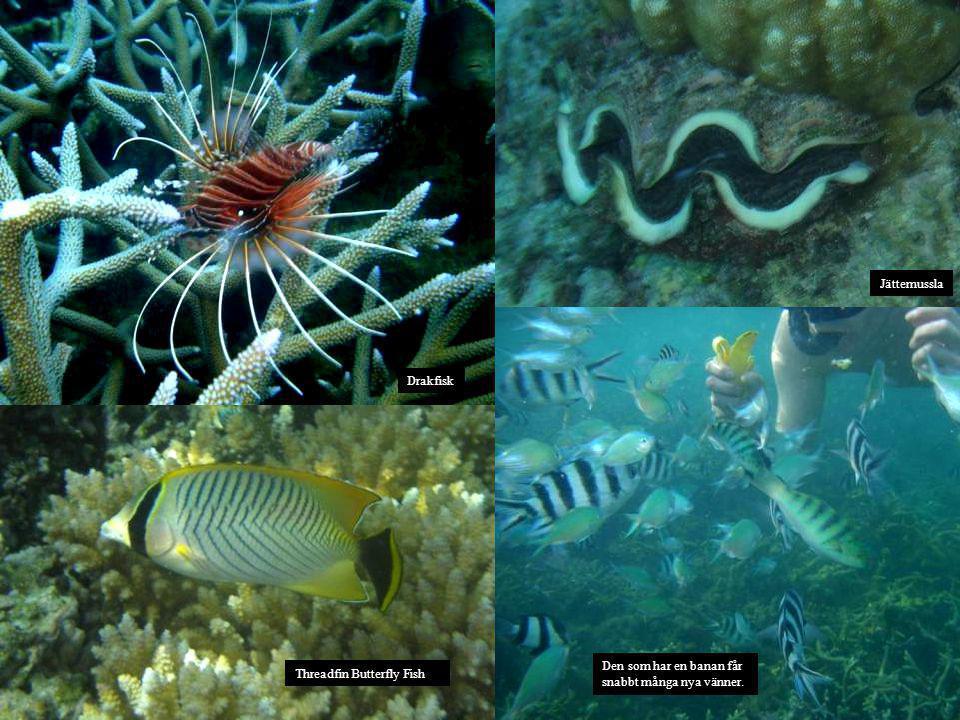 Jättemussla Drakfisk Den som har en banan får snabbt många nya vänner. Threadfin Butterfly Fish
