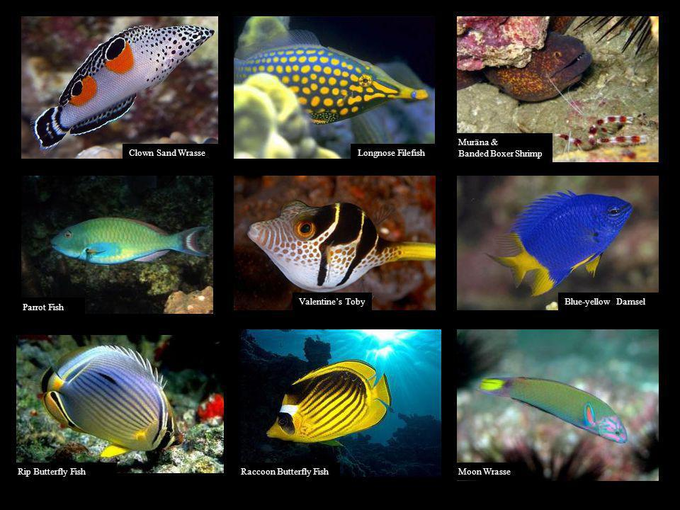 Muräna & Banded Boxer Shrimp. Clown Sand Wrasse. Longnose Filefish. Valentine's Toby. Blue-yellow Damsel.
