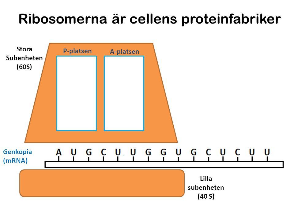 Ribosomerna är cellens proteinfabriker