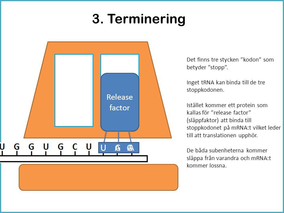 3. Terminering U G A U A A U A G Release factor